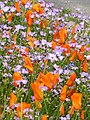 Poppies and Gilia (919609755).jpg