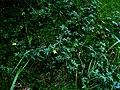 Potentilla erecta IMG 6181^.jpg