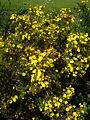 Potentilla fructiosa var. farreri 2007-06-02 (plant).jpg