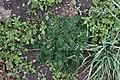 Potentilla multifida (Rosaceae) (27605559010).jpg