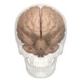 Primary fissure of cerebellum - 01.png