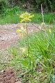 Primula veris in Aveyron (15).jpg