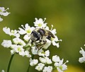 Probably Andrena alutacea, an oligolectic on Apiacae- bees that exhibit a narrow, specialized preference for pollen sources (45695972591).jpg