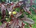Prunus persica bonfire.jpg