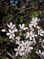 Prunus subcordata (4361788062).jpg