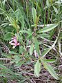 Prunus tenella sl1.jpg