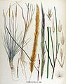 Psamma baltica — Flora Batava — Volume v17.jpg