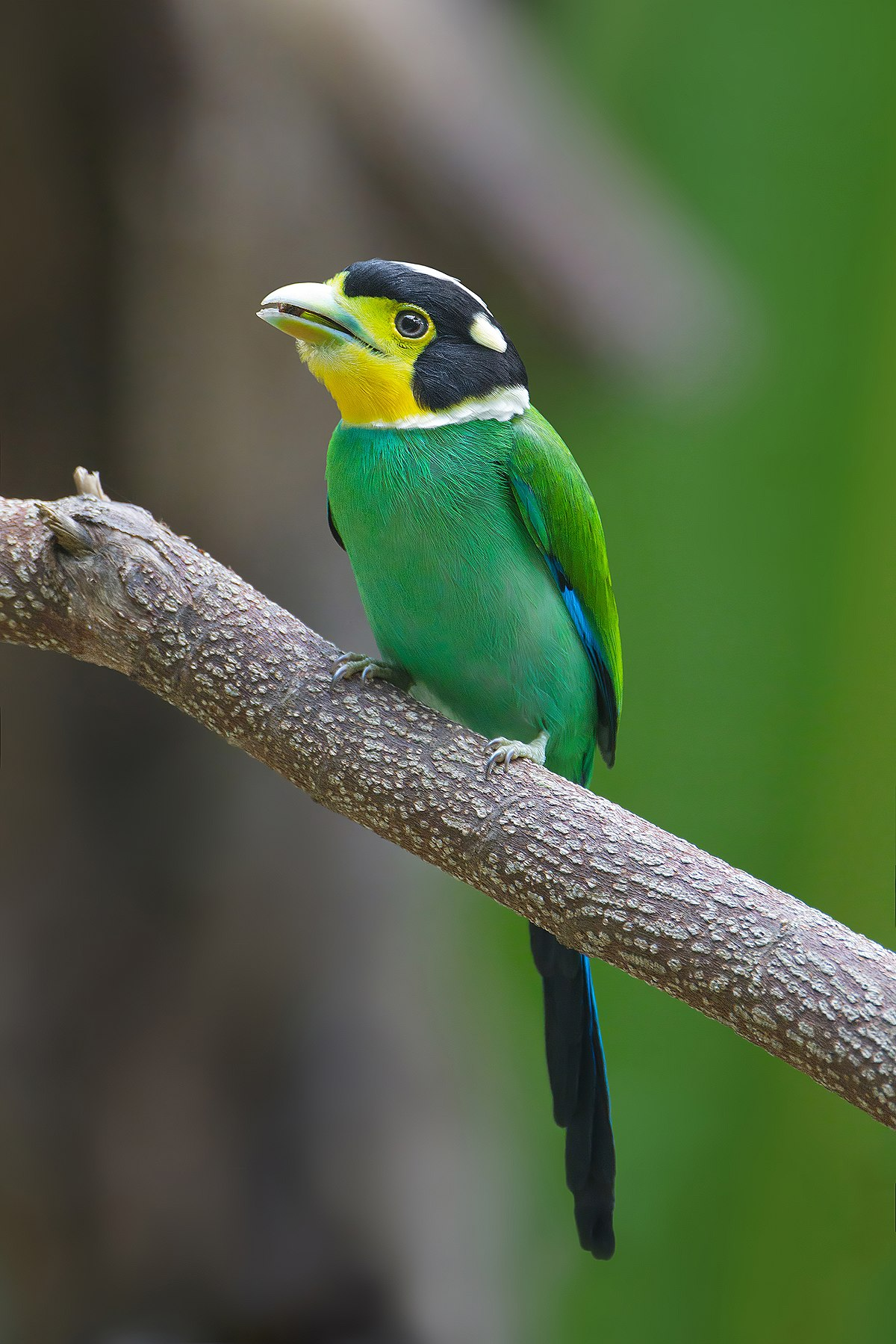 Long-tailed broadbill - Wikipedia