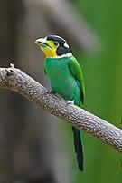 Psarisomus dalhousiae - Kaeng Krachan.jpg