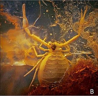 Phoresis - Pseudogarypus synchrotron Henderickx et al. 2012 specimen in Baltic amber
