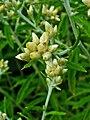Pseudognaphalium obtusifolium 002.JPG
