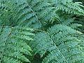 Pteridium aquilinum 2 - Putney Heath Common 2011.08.02.jpg