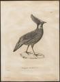 Pucrasia duvaucelii - 1700-1880 - Print - Iconographia Zoologica - Special Collections University of Amsterdam - UBA01 IZ16900268.tif