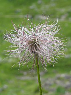 Alpine pasqueflower fruit