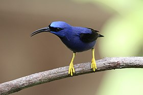 Purple Honeycreeper (17567745415).jpg
