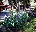 Purple Iris, Snow-Line Orchard, Oak Glen, CA 4-27a (9008186399).jpg