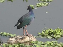 Fichier:Purple Swamphen.ogv