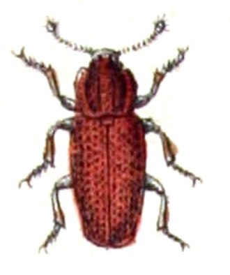 "Colydiinae - Whether Pycnomerus terebrans of the ""Pycnomerini"" is a cylindrical bark beetle is not yet resolved"