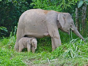 Borneo elephant - Female Borneo elephant with her calf at the Kinabatangan River, Sukau, Sabah