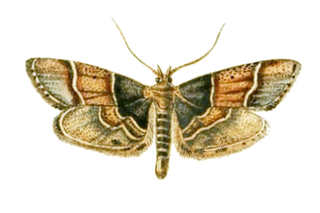<i>Pyralis pictalis</i> species of insect