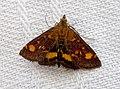 Pyrausta aurata (1) - Flickr - gailhampshire.jpg