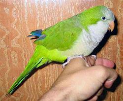 6. Monk Parakeet
