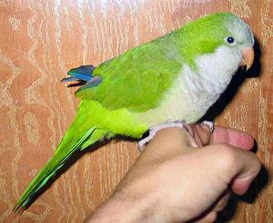 Monk parakeet - Female pet monk parakeet
