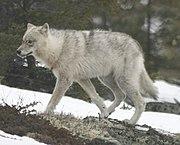 Un loup des plaines