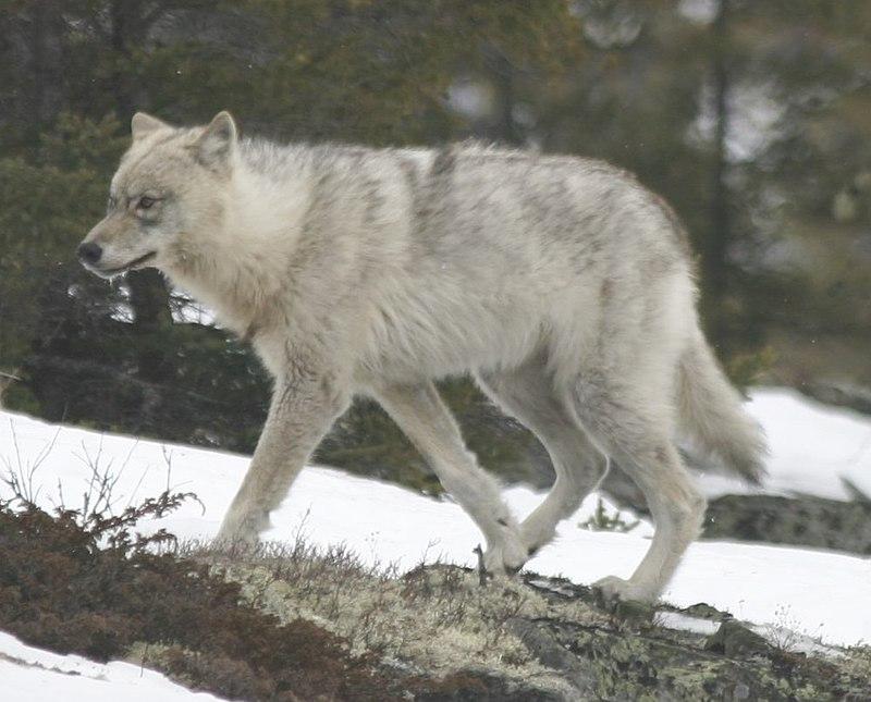 File:Quebec wild wolf.jpg