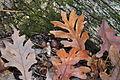 Quercus alba fallen-leaves acorns.jpg
