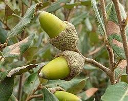 Quercus ilex, Livorno.JPG