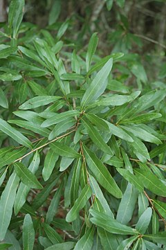 240px quercus laurifolia (23560149953)