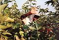 Récolte du coton à El Carmen - Pérou 06.JPG