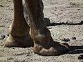 Rückseite Beine Dromedar Zoo Landau Juni 2011.JPG