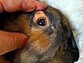 Rabbit with jaundice (eye).jpg