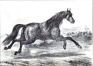 "Akhal-Teke - 1848 French image of a ""Turkmene"" horse"