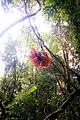 Rafflesia Arnoldii Mekar Menjuntai.jpg