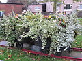 Railway wagon planter, Shevington (3).JPG