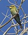Rainbow Bee-eater ( Merops ornatus) (4954204105).jpg
