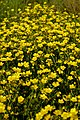 Ranunculus acris. Yellow flowers.jpg