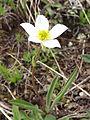 Ranunculus kuepferi 001.JPG