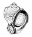 Rapana venosa shell.png