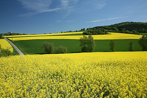 Colza rapeseed fields