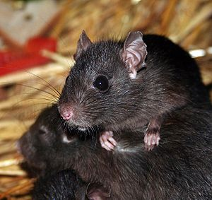 Study Shows Rats Prefer Organic Food