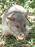 Rat eating ban