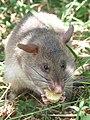 Rat eating ban.jpg