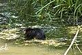 Rat musqué (Ondatra zibethicus).jpg