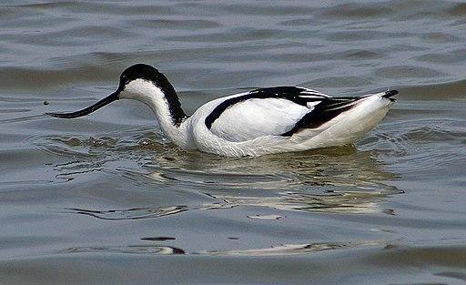 Recurvirostra avosetta -Titchwell Marsh, Norfolk, England -swimming-8