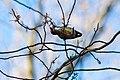 Red-bellied woodpecker (32813689971).jpg