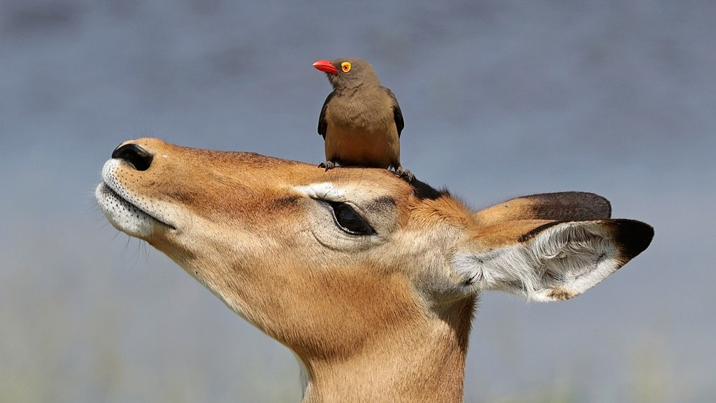 Red-billed oxpecker (Buphagus erythrorhynchus) on impala (Aepyceros melampus).jpg